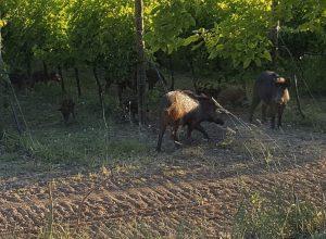 I cinghiali causano ingenti danni all'agricoltura