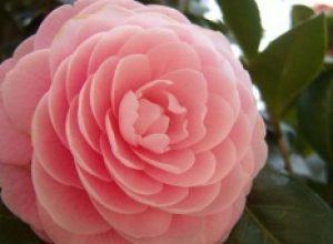 Camellia a fioritura invernale