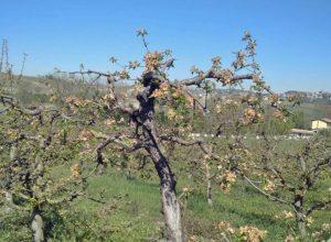 Frutteti a San Marzano Oliveto danneggiati dalle gelate 8 aprile 2021