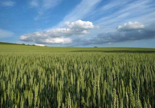 Gran Piemonte campo di grano presso Calliano