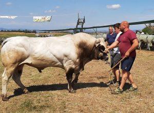 Il campione dei tori
