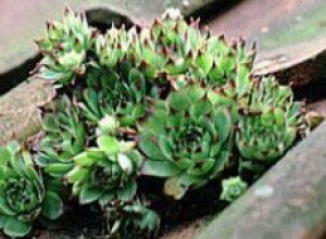 Semprevivo la succulenta che non teme il gelo