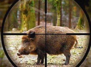 caccia cinghiale2